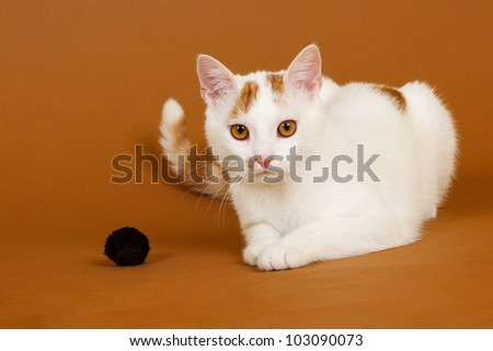 domestic cat isolated on a brown background - stock photo