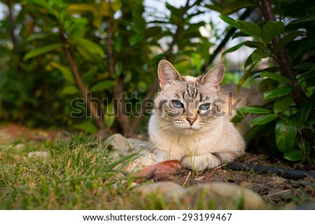 Domestic cat lying down on the grass looking at the camera. Shot outdoors at sunset in home garden with very shallow depth of field, focused on the blue eyes. - stock photo