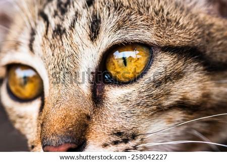 Domestic cat portrait, close up, cat face close up, angry cat, domestic cat, serious cat, cat portrait - stock photo