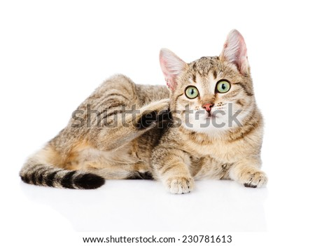 Domestic cat scratching. isolated on white background - stock photo
