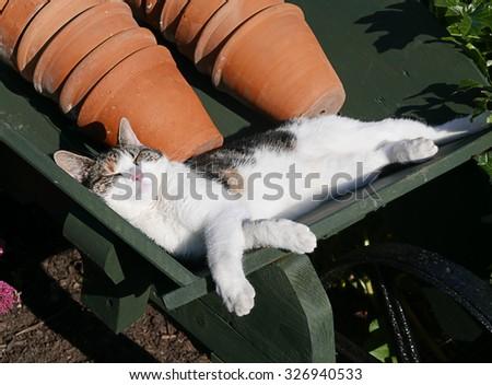 Domestic cat sleeping in wheel barrow in garden - stock photo