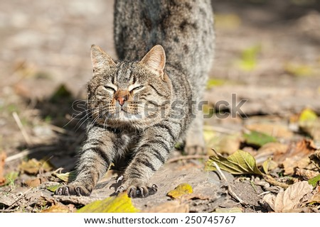 Domestic cat stretching - stock photo