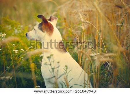 Domestic dog in a field - stock photo