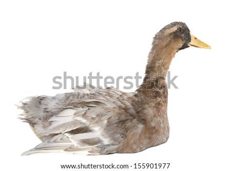 Domestic duck isolated on white background - stock photo