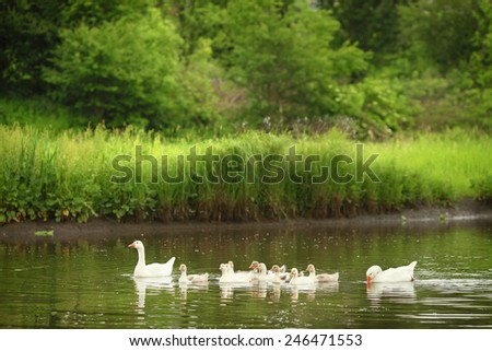 Domestic ducks swimming in the backwaters - stock photo