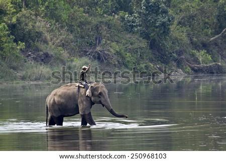 Domestic elephant with mahout in Bardia, Nepal - stock photo