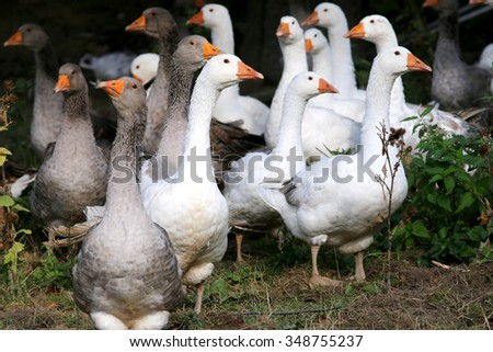 Domestic geese graze on traditional village goose farm - stock photo