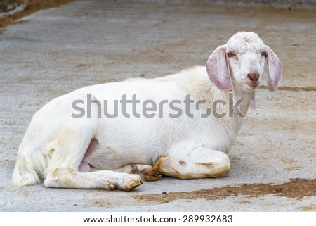 Domestic goat lying on the ground - stock photo