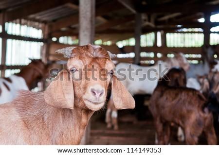 Domestic goats in the farm - stock photo