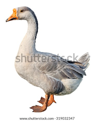Domestic goose, Anser anser domesticus,  isolated on white - stock photo