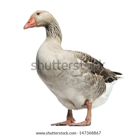 Domestic goose, Anser anser domesticus, standing and looking down, isolated on white - stock photo