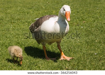 domestic goose with gosling  - stock photo