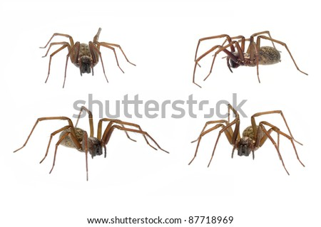 Domestic House Spider (Tegenaria domestica) in 4 positions isolated on white - stock photo