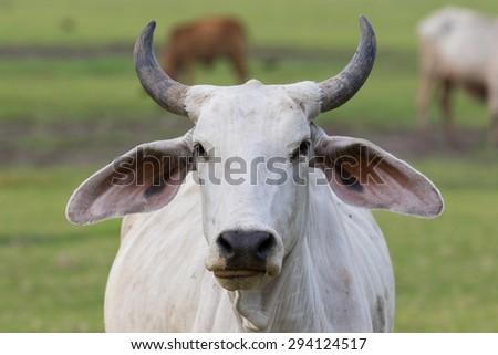 domestic male cow in livestock farm thailand - stock photo