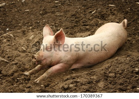 domestic pig - stock photo