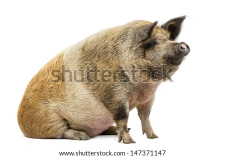 Domestic pig sitting and looking away, isolated on white - stock photo