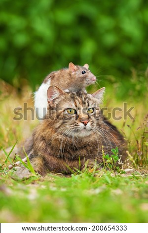 Domestic rat sitting on the head of tabby cat - stock photo
