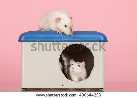 domestic rats in house and on roof - stock photo