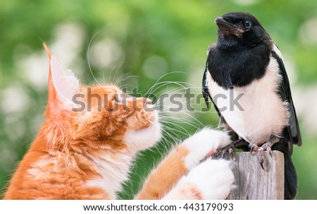 Domestic red Maine Coon kitten, 4 months old, hunted a nestling of magpie. Cat hunted a bird. - stock photo