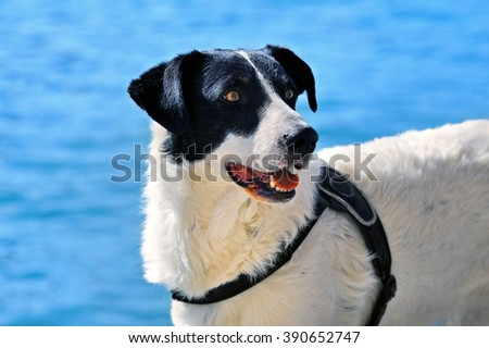 Domestic Sheep dog on blue background - stock photo