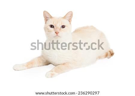 Domestic Shorthair Cat laying while looking directly into the camera.  - stock photo