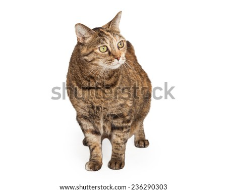 Domestic Shorthair Mix Breed Cat looking to the side while walking towards the camera.   - stock photo