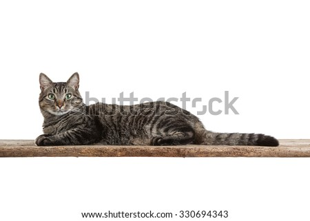 Domestic shorthair tabby cat in full length laying down on a board isolated on white background - stock photo