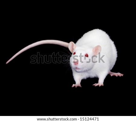 Domestic white rat on a black background - stock photo
