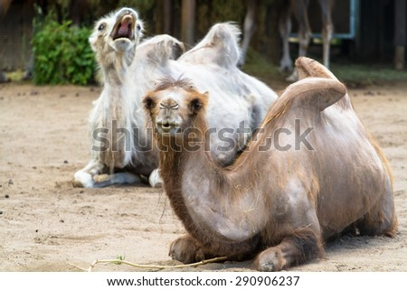 Domesticated (bactrian) camel with another camel photobombing - stock photo