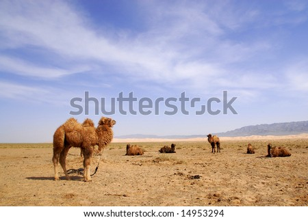 Domesticated camels in the Gobi Desert, Mongolia - stock photo