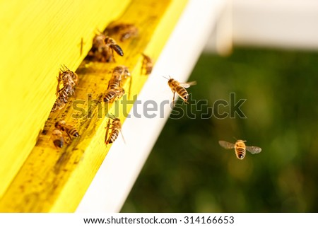 Domesticated honeybees in flight, returning to their apiary, bringing nectar for organic honey and food for bee colony and queen bee. Healthy, organic nutrition and natural resources concepts.  - stock photo