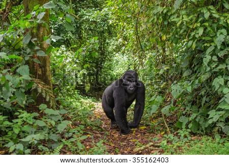 Dominant male mountain gorilla in rainforest. Uganda. Bwindi Impenetrable Forest National Park.  - stock photo