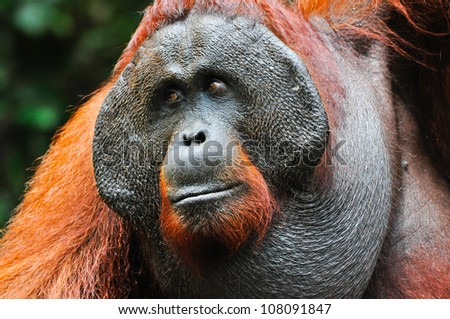Dominant male orangutan with the signature developed cheek pads that arise in response to a testosterone surge. The background is defocused dark green foliage and provides some room for copy. - stock photo