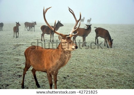 Dominant stag standing guard of his female deer at the end of the rutting season. Taken on frosty and foggy day. - stock photo