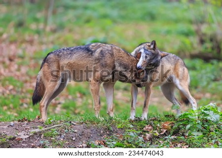 dominant wolf - stock photo