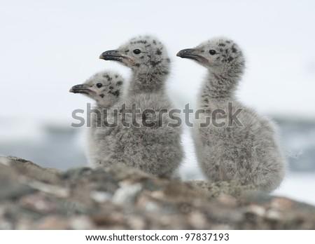 Dominican gull chicks near the nest on a rocky island. - stock photo