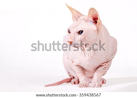 Don Sphynx cat breed isolated on white background - stock photo