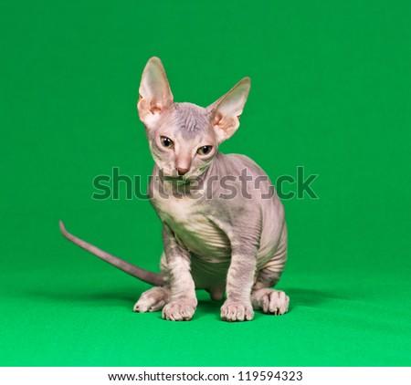 Don sphynx kitten on a green background - stock photo