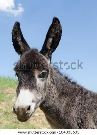 donkey calf - stock photo