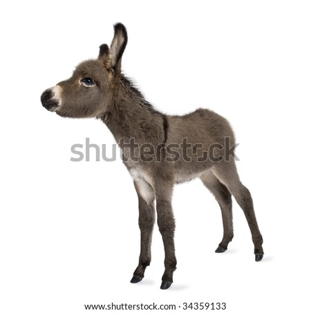 donkey foal (2 months) in front of a white background - stock photo