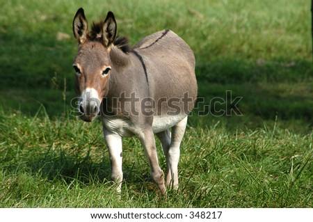 Donkey II - stock photo