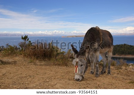 Donkey on Isla del Sol, Titicaca lake, Bolivia - stock photo