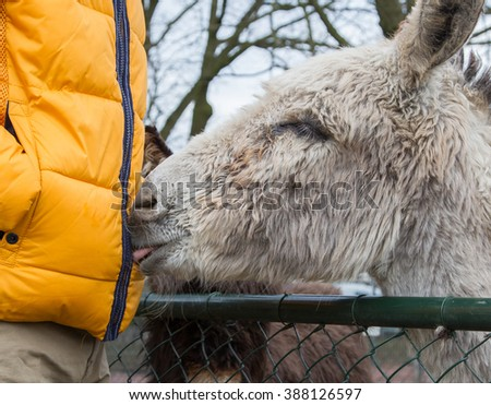 Donkey seeking attention from it's owner - stock photo
