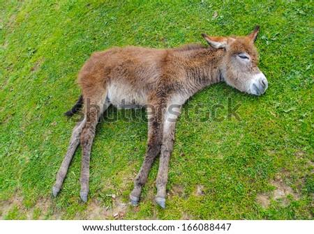 Donkey sleeping on the grass - stock photo