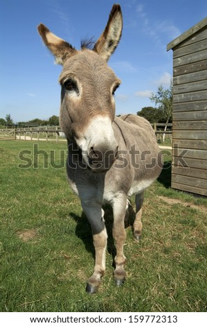 donkey standing in field with shed in background looking at camera - stock photo