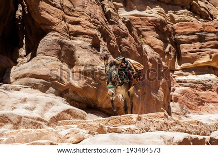 Donkey  walks over the rocks in Petra (Rose City), Jordan. The city of Petra was lost for over 1000 years. Now one of the Seven Wonders of the Word - stock photo
