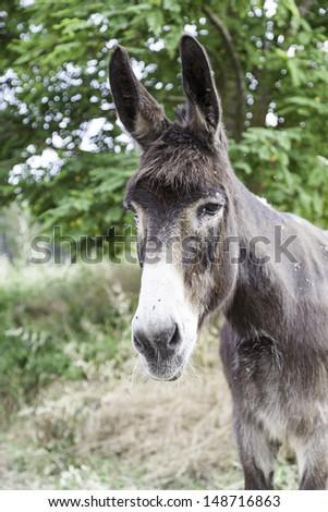 Donkeys Spanish, detail of a typical Spanish farm animal, mammal on the farm, animal free - stock photo