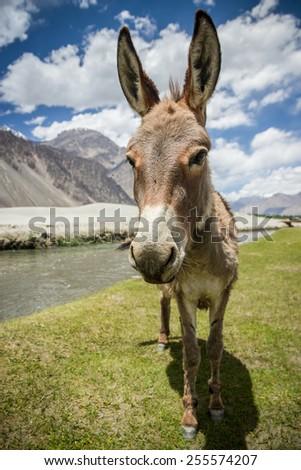 Donky India - stock photo