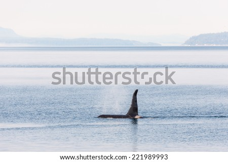 Dorsal fin of a Killer whale on a misty morning in Johnstone strait, Vancouver island - stock photo