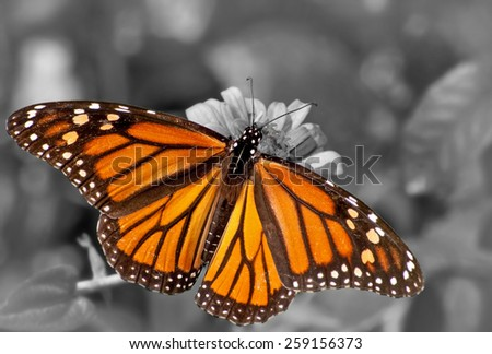 Dorsal view of a female Monarch butterfly feeding on Zinnia flower; color spot on black and white - stock photo
